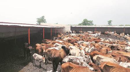 Killing of cow in Jhansi, killing of cow in sharanpur, Bajarang dal, VHP, Mauranpur police station, Indian Express,