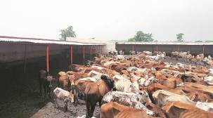 Opposition slams TMC's cow distribution scheme in West Bengal