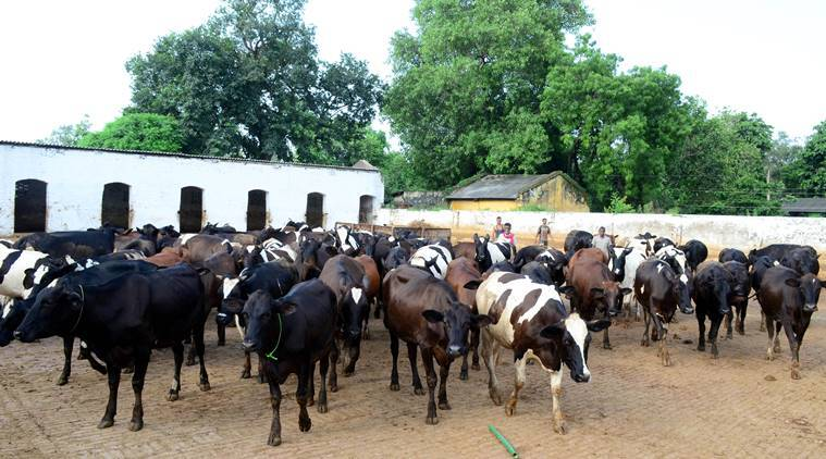 pg hostels for cattle, cow hostel, haryana govt, milk producing cattle, hostel for cow, indian express