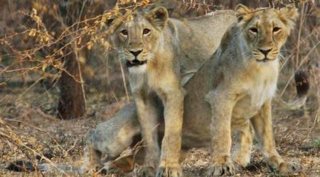 loins attacked forest officials, killed forest official, loins kills forest officer in Gir forest,Junagadh Wildlife Circle, Indian Express,