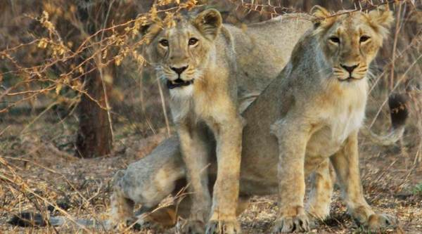 lioness death, lion found dead, Gujarat lioness death, AMreli village, Gujarat news,