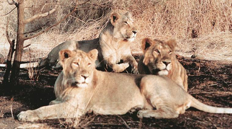 gir lions, madhya pradesh, gujarat, lion sanctuary, wildlife institute of india, india express