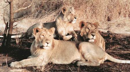 Lion deaths: Government begins vaccination of dogs in 20 Gir villages and 33 'rescued'lions