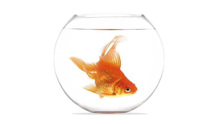 goldfish, alcohol production, lactic acid build-up, energy production, ethanol production, goldfish survival