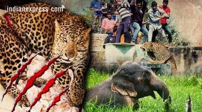 wildlife attack, Animal attack, tiger attack, leopard attack, India tiger, tiger, elephant, elephant attack,