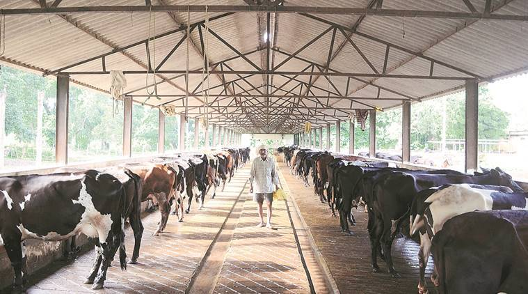 animal farm, animal dairy farm, dairy farms, Gawaliwada area of Khadki dairy farm, dairy farm gawaliwada over limit, over limit animals in dairy farm, indian express news