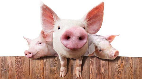 pigs saved then served as sausages, rescued pigs sausages sent to firefighters, firefighters save pigs eat sausage later, rachel rivers, indian express, indian express news
