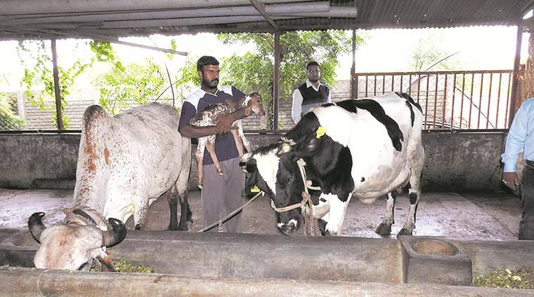 pune, pune farm, surrogate cow, cow surrogacy, In Vitro Fertilisation, ivf technology, ivf technology in cows