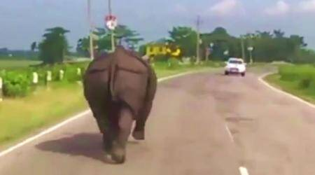 WATCH: Wild rhino storms onto a busy road and races with cars