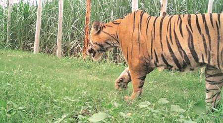 MP: Two tigers found dead in Bandhavgarh Tiger Reserve