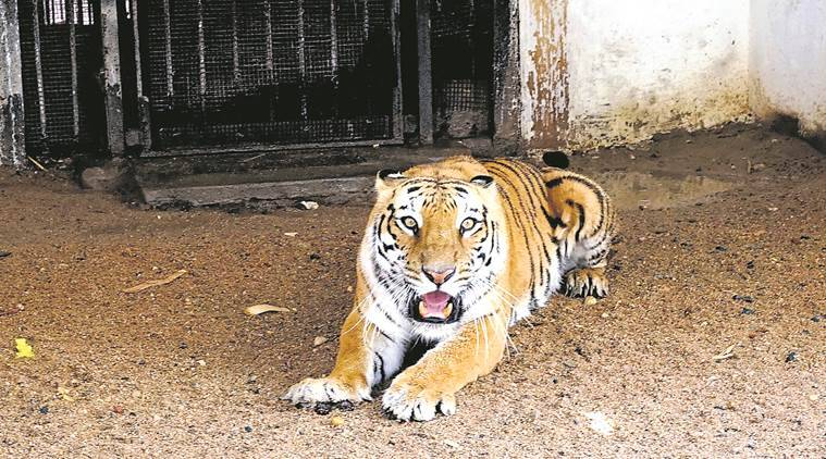 Forest officials capture tigress that killed two men in Wadsa forest division