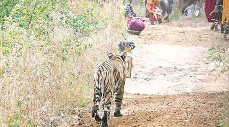 Tiger, Man Animal conflict, Indian Express, Wildliufe, Wildlife news, India news, human encroachment, forest