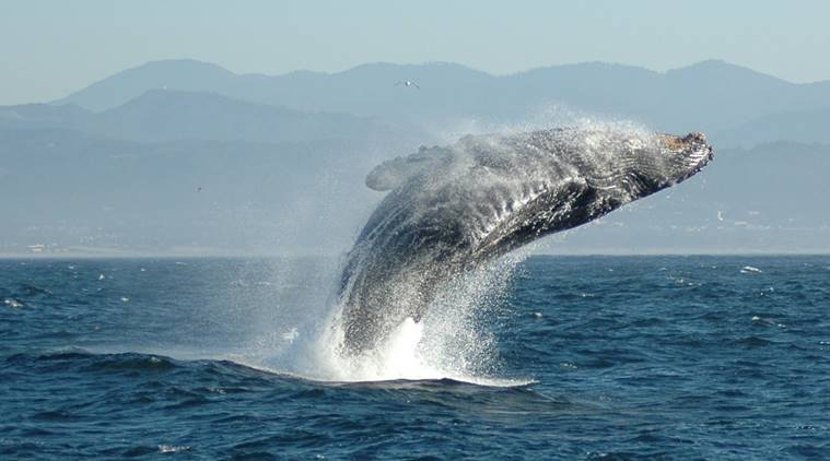 australia, whale attack, queensland whale attack, humpback, whale attack injuries,