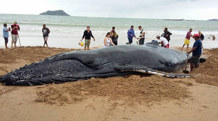 baby whale, baby whale stranded, whale on brazilian beach, brazilian beach whale, whale rescue operation, whale saved in brazil, indian express, indian express news