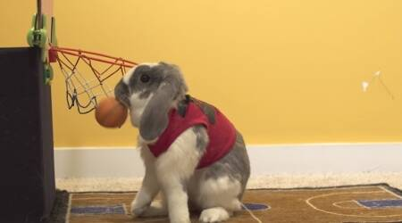 VIDEO: This rabbit plays basketball, paints and is a Guinness World Recordsholder