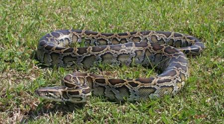 8-ft long injured python undergoes CT scan