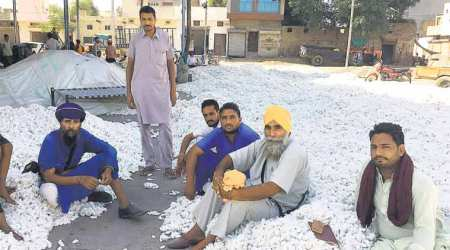 Cotton area in Punjab shrinks by 1 lakhhectares