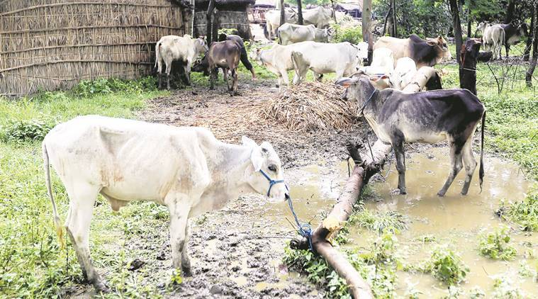 cow slaughter, slaughter, mob violence, lynching, attacks, India news, Indian Express, Bovine