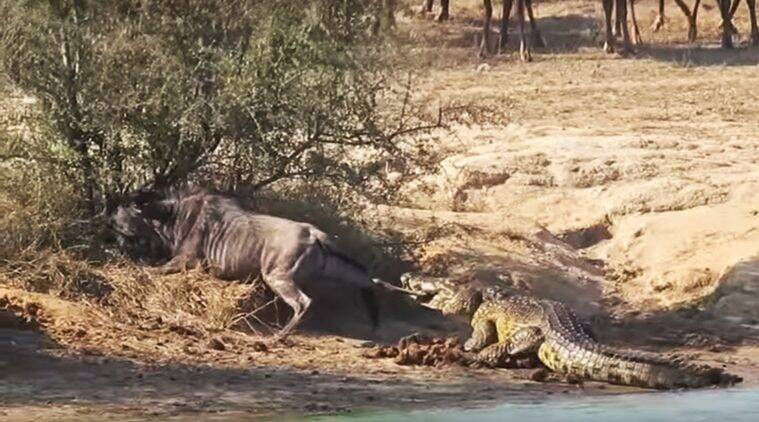 wildebeest caught by a crocodile, battle between crocodile and wildebeest, hippos come to rescue wildebeest, viral videos, Indian express, Indian express news