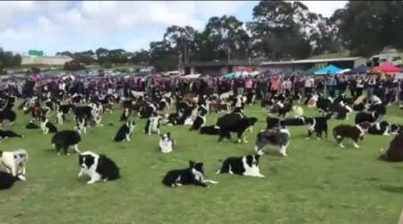VIDEO: 576 'peaceful' dogs come together in Australia for a fundraiser and create worldrecord