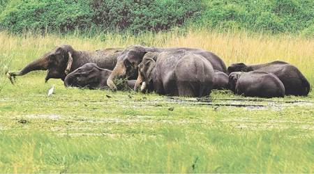 Elephant, Elephant population, Elephant habitat, Elephant conservation, Human elephant conflict, elephant conflict, elephant removal zones, captive elephants, India news, Indian Express news