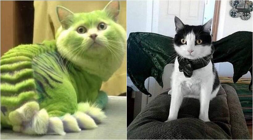 dragon cats, cats with dragon fur, dragon fur cats, dragon haircuts for cats, game of thrones cats, Indian express, Indian express news