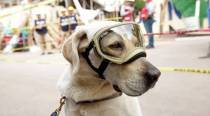 Meet Frida the Labrador who has been saving lives in disasters across the world