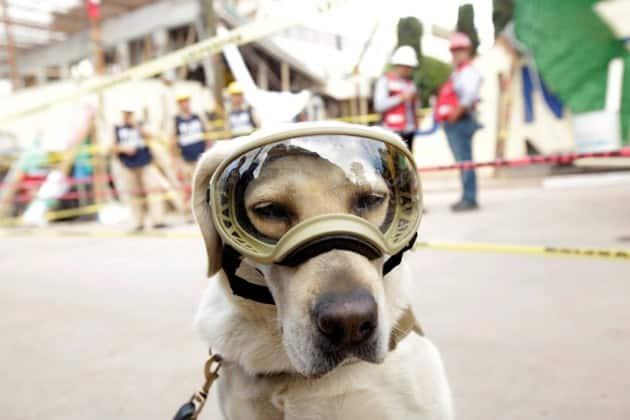 Frida the dog, Frida mexican dog, frida rescue dog, frida mexican rescue dog, mexico earthquake, Mexico rescue mission, frida labrador, world news