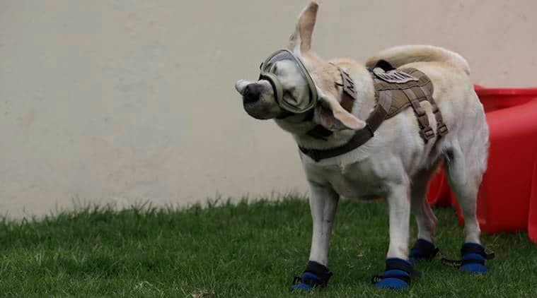 mexico earthquake, mexico quake, rescue dog, frida the dog, mexico news, mexico quake relief, indian express news, world news