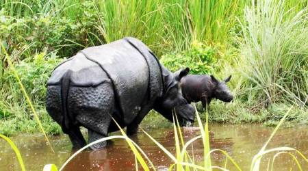 Assam: Rehabilitated rhino gives birth to second calf in Manas National Park
