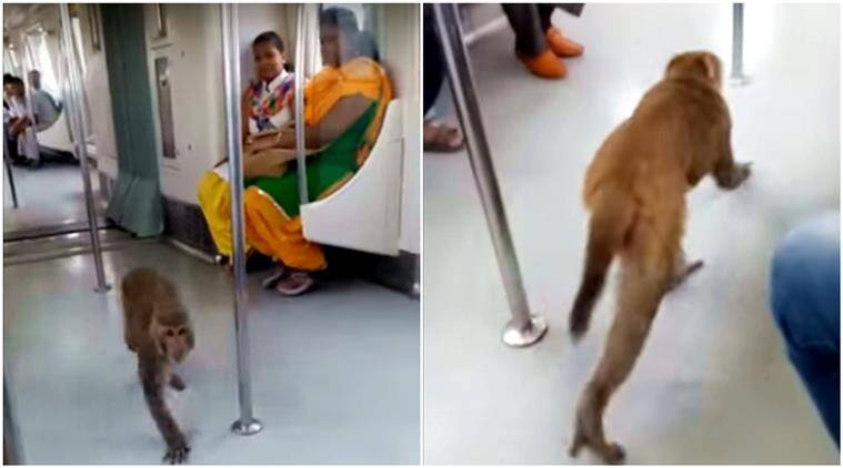 monkeys, monkey in metro, monkey in delhi metro, delhi metro, monkey funny videos, monkey delhi metro funny video, indian express, indian express news