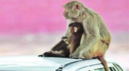 Congress, BJP promise to put monkeys out of business in Himachal Pradesh