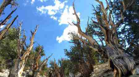 Climate change, Western United States, old tree survival, University of California Davis, bristlecone pine, limber pine, mountainside foliage, twisted limbs, tree death, long-living trees, extinction risk, adaptibility