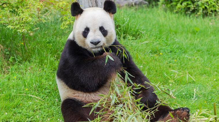 Blooming lovely! Japan zoo names baby panda after fragrant flowers