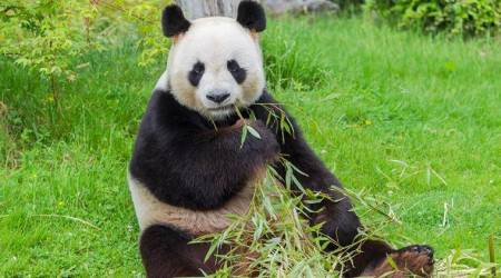 Japan's baby panda now has a name: Xiang Xiang, or fragrance