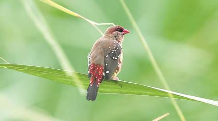 bird calls, bird calls recorded, Sachin Punekar, Pune scientist, Pune News