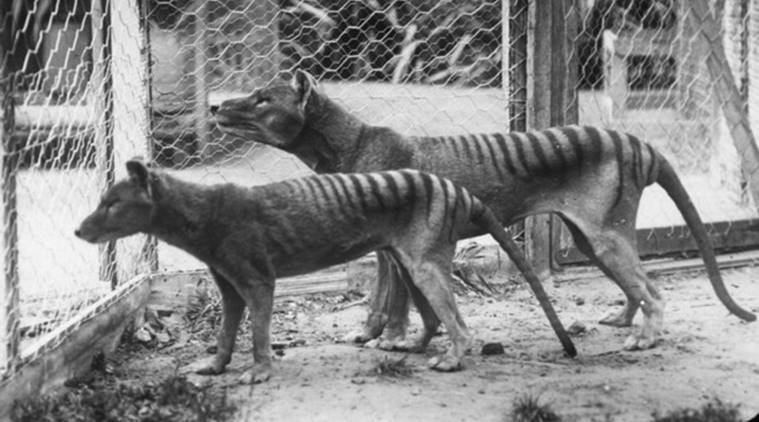 Thylacines , tasmanian tiger, Thylacines extinct, Thylacines climate change, tasmanian tiger australia, tasamnian tiger extinct, indian express news