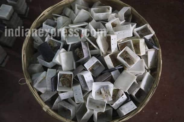 tussar silk, tussar silkworm, taser silk photos, tussaer silkworm photos, sericulture photos, silk photos, sericulture pictures, taser silk pictures, tusser silkworm pictures, indian express