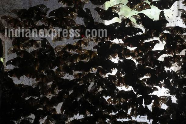 taser silk, taser silkworm, taser silk photos, taser silkworm photos, sericulture photos, silk photos, sericulture pictures, taser silk pictures, taser silkworm pictures, indian express