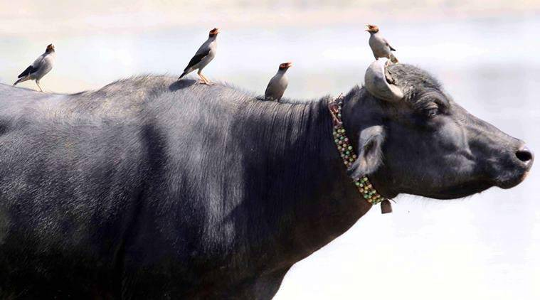 beef, beef ban, buffalo meat, beef exports, meat exports, india beef exports, buffalo meat export, slaughter ban, south beef ban, indian express news, india news