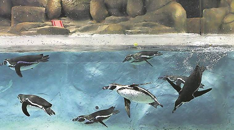 Byculla zoo, Byculla zoo Penguins, Penguins Byculla zoo, Byculla zoo Mumbai, Mumbai News, Latest Mumbai News, Indian Express, Indian Express News