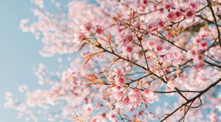 Cherry Blossom Festival to be held in Shillong in November