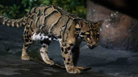 Mizoram has highest number of clouded leopards in South East Asia