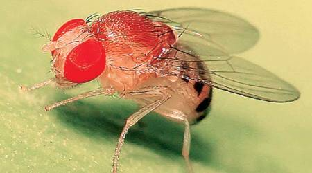 Drosophila melanogaster, fruit fly, nobel, nobel prize, nobel peace prize, jeffrey c hall, alfred nobel, michael rosbash, michael w young, nobel in medicine, literature nobel, indian express news, india news