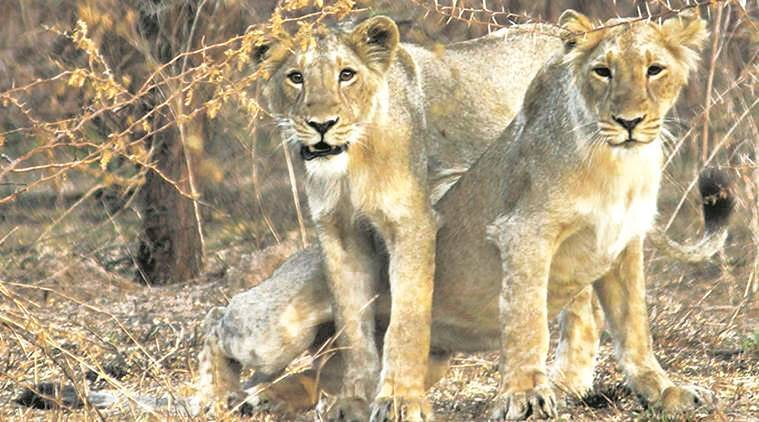gir national park, gir lions, gujarat hc, gir national park pil, dhari, amreli, gujarat latest news, indian express