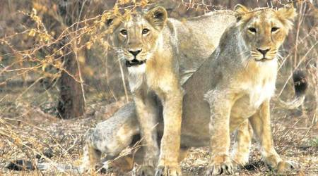 Lion found dead in Bhavnagar had come in contact with live wire: probereport