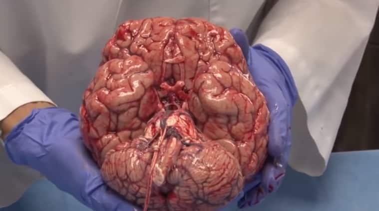human brain, functioning of human brain, way human brain work, parts of human brain, human brain video, indian express, indian express news