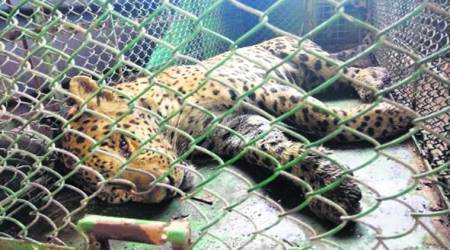 36 hours after it ventured into Maruti plant in Manesar, leopard rescued