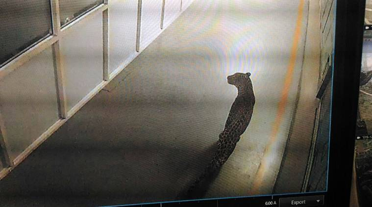 Leopard enters the Maruti Suzuki plant in Manesar
