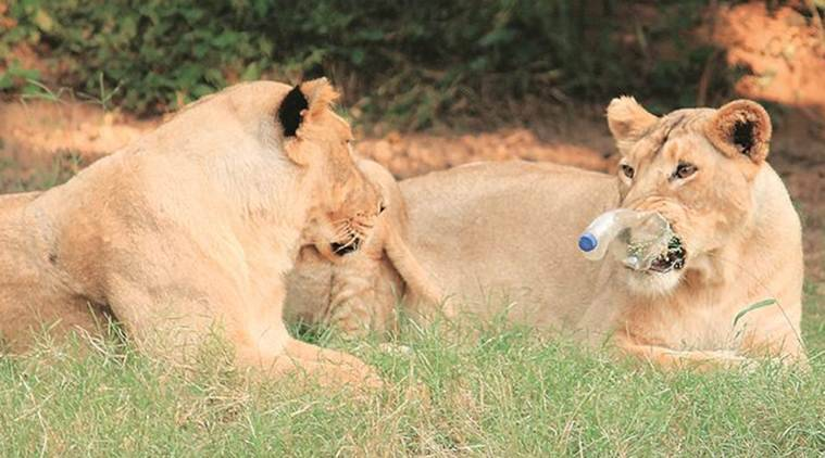Chhatbir Zoo, Mahendra Chaudhary Zoological Park, Lion, litter, lion safari, chandigarh news, indian express, indian express news